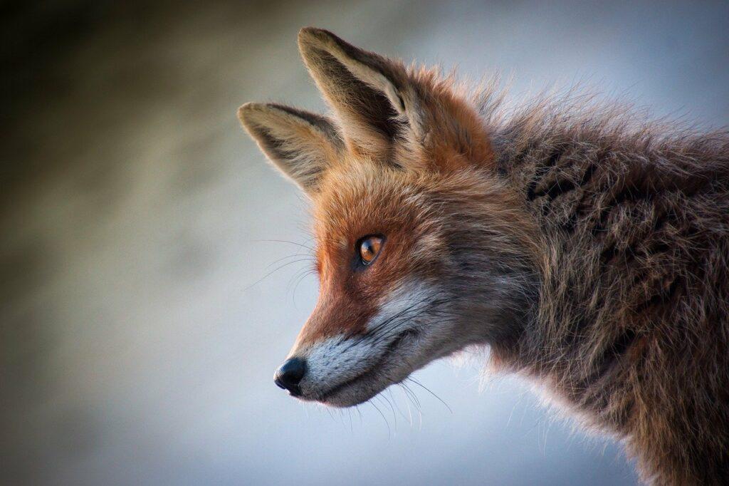 fox, mammal, animal