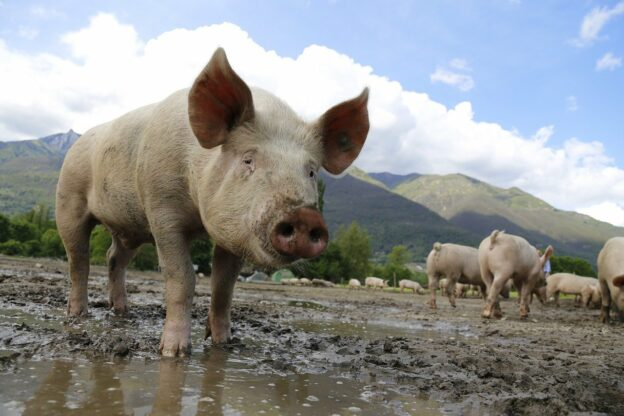 pig, sow, domestic pig